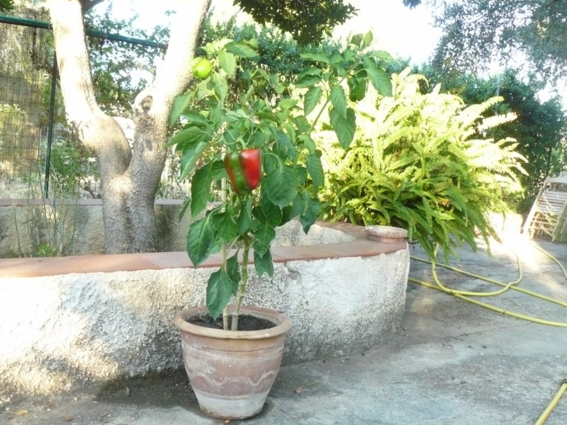 Coltiviamo il peperone e il peperoncino giornale del cibo for Peperoncino in vaso