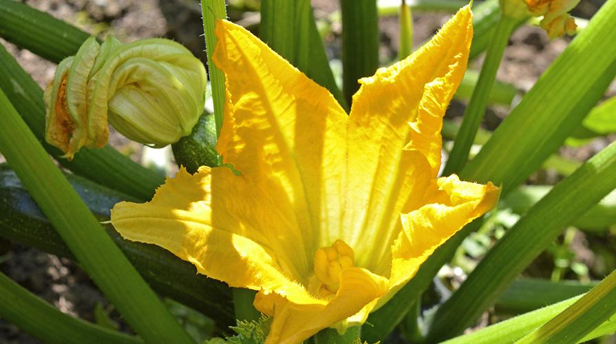 Coltivare la zucchina giornale del cibo - Terriccio fertile ...