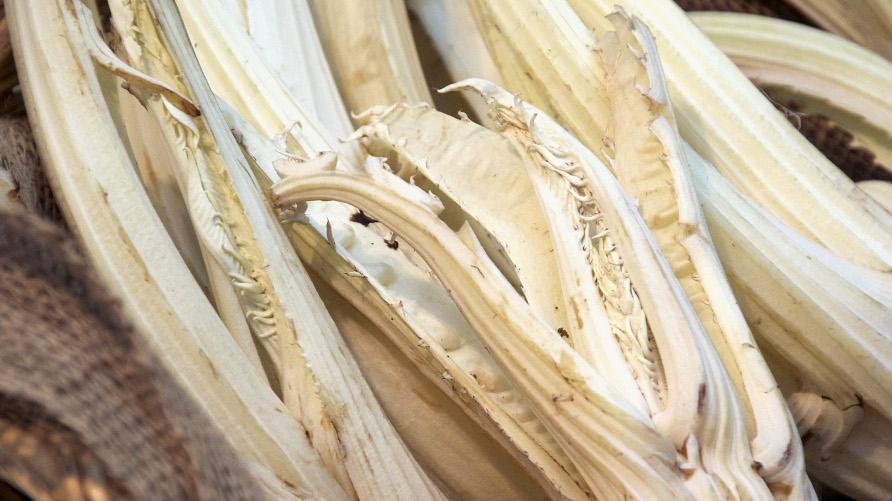 tra i primi presidi slow food il cardo gobbo di nizza monferrato un prodotto prezioso e raro coltivato nei terreni sabbiosi tra nizza monferrato