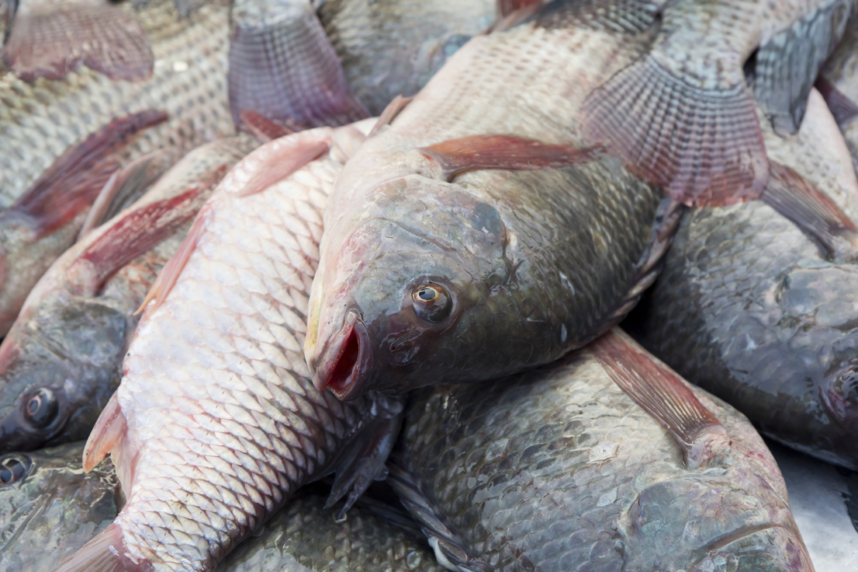 Pesce di allevamento come riconoscerlo for Immagini di pesci disegnati