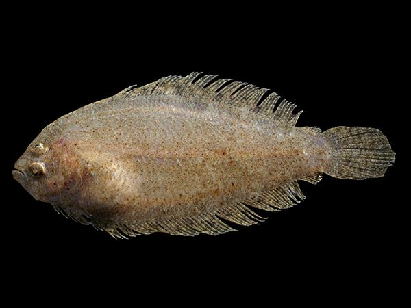 Pesce di stagione a novembre ecco le specie dei nostri mari for Comprare pesci