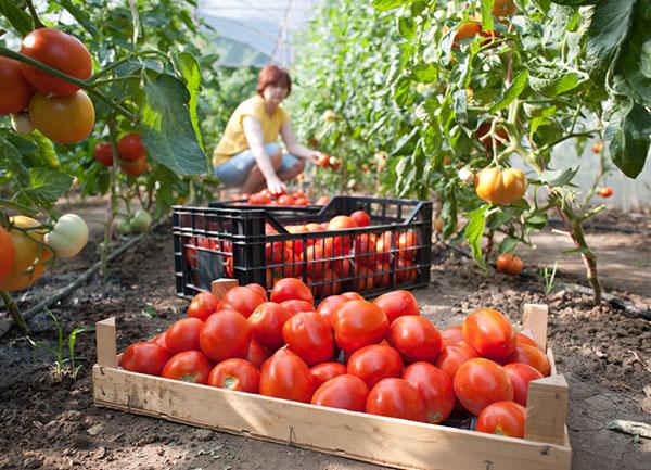 Pomodori raccolta