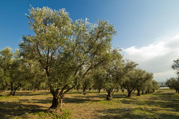 alberi olive turchia