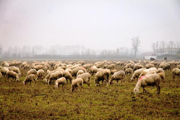 allevamento pecora bergamasca