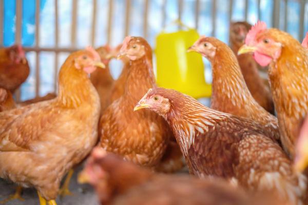 allarme aviaria